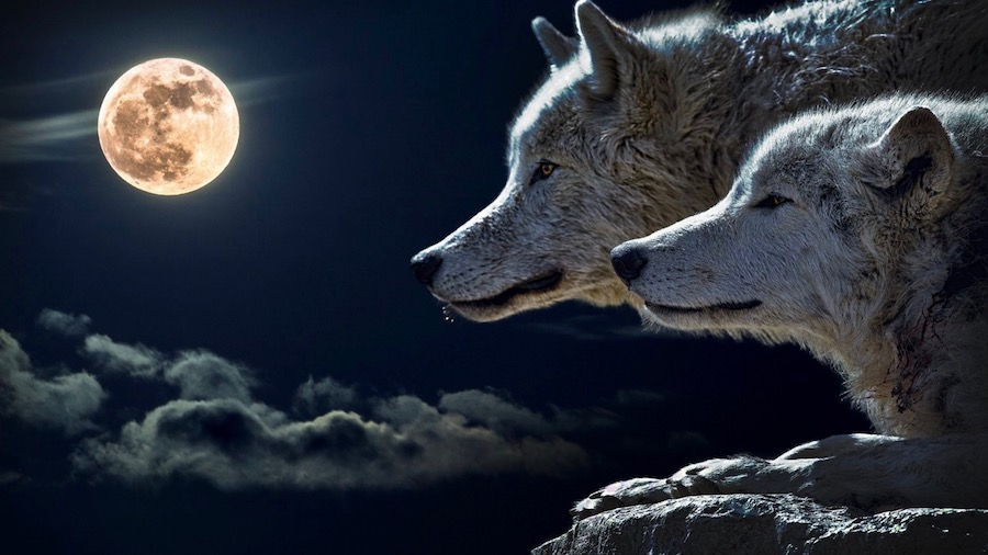 wolf_Moon-82305.jpg!d 2.jpg