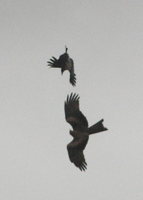 Ворона напала на коршуна