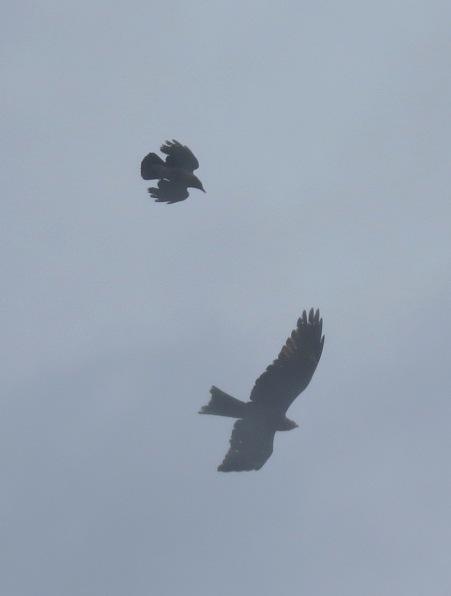 Ворона напала на коршуна 2