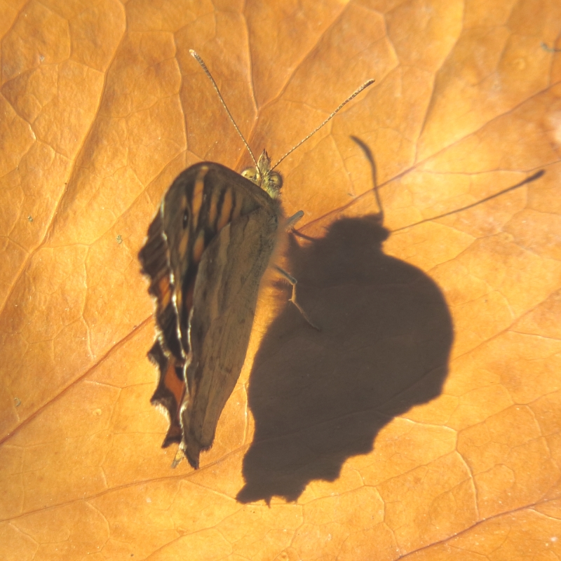 Бабочка с горбатой тенью