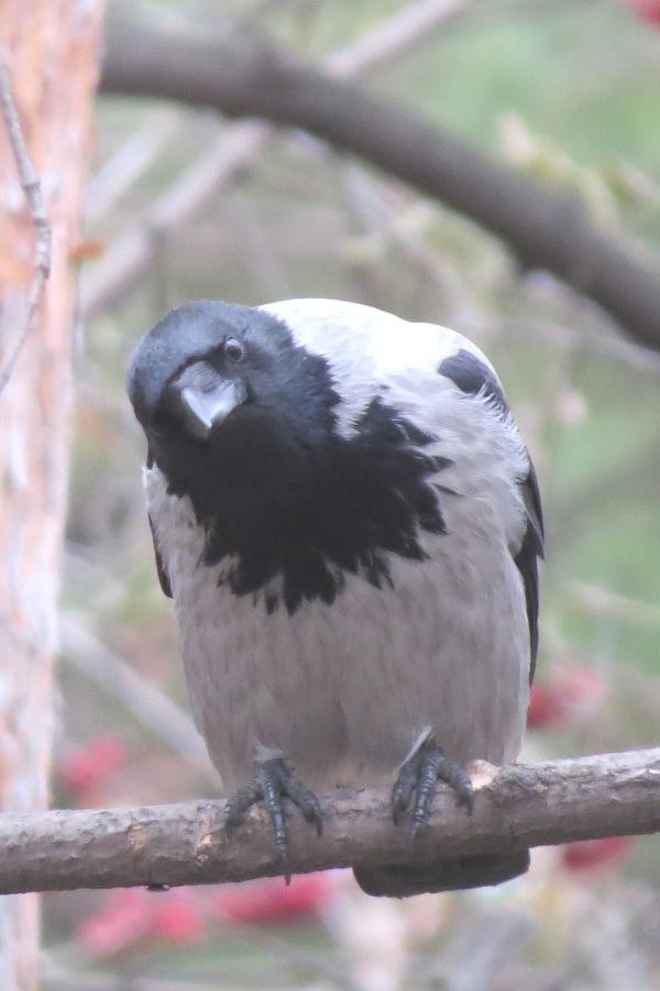 Ворона. Типа чё