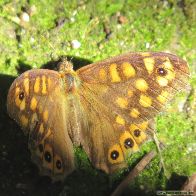 Бабочка со странным именем