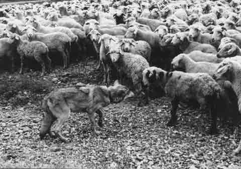 Волк-стадо
