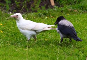 white_crow.jpg