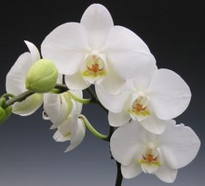 white phalaenopsis (300x271)