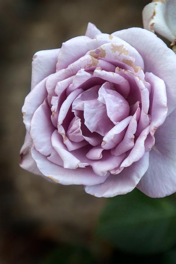 Розы из Никитского ботанического сада.