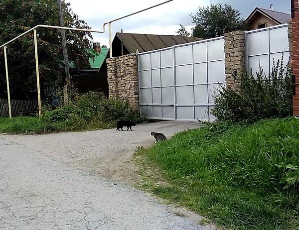 Кошачья сходка-1
