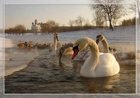 Лебеди 4