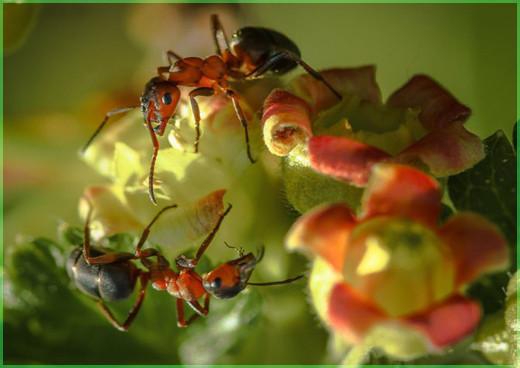 Два муравья
