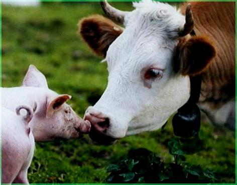 Корова и свинья