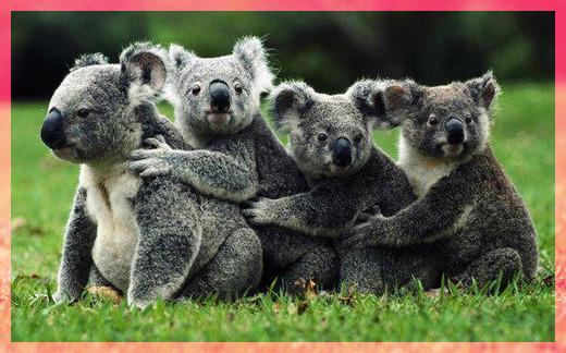 Мишки панда