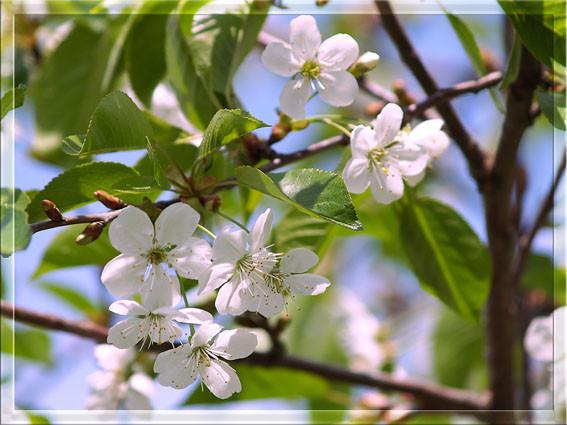 Белые цветы 3