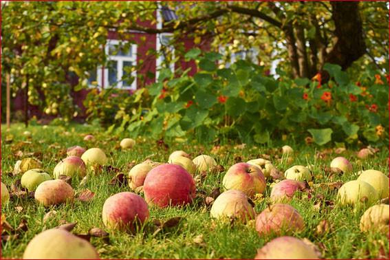 Яблоки на даче