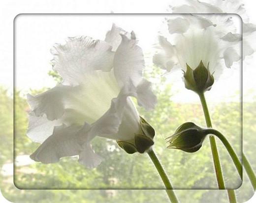 Белые цветы 1