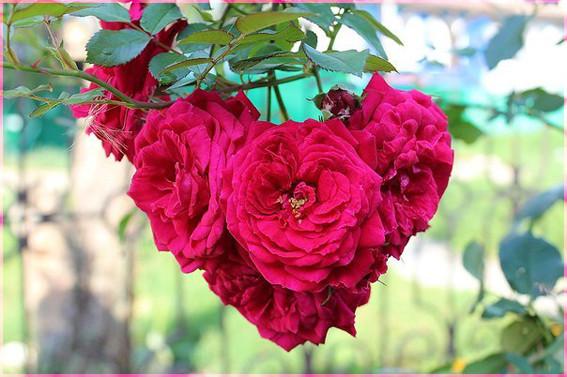 Розы-сердце