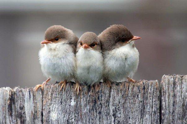 Три птенца
