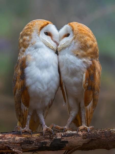 Две совы 6