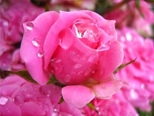 Роза 2