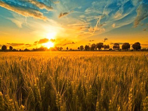 поле спелой пшеницы 2