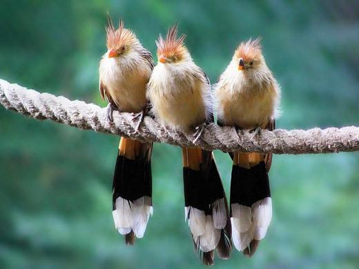 Три птички
