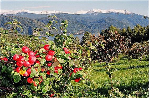 Спелые яблоки 2