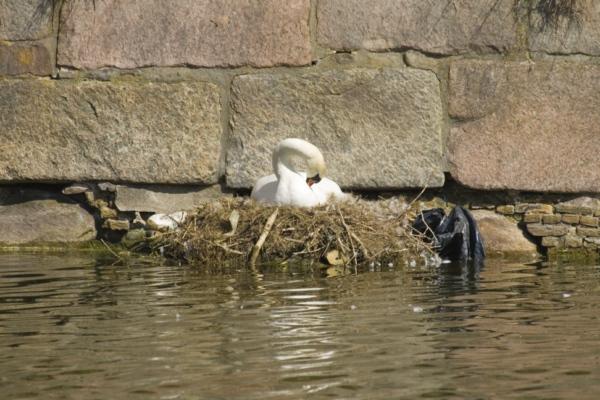 Лебедь в замке Кронборг, Дания.