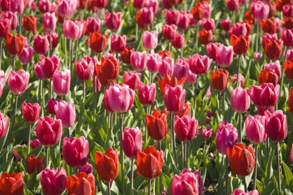 Тюльпаны, Дания.
