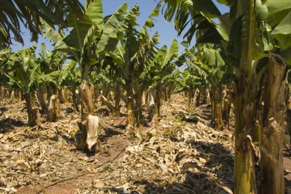 Банановые плантации на Кипре.