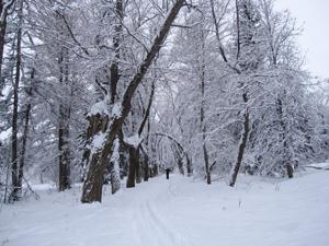 Аллея серебристых ив Баболовском парке. Январь.