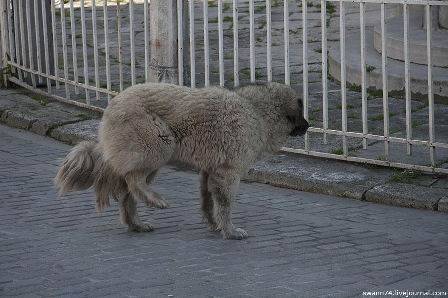 Собаки в Стамбуле