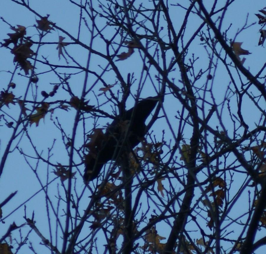 Tree Crow
