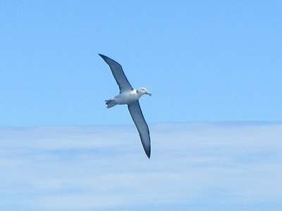 Young Buller's Albatross