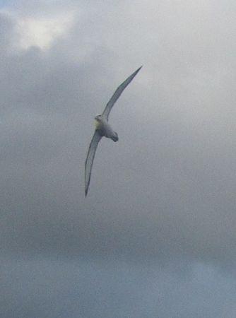Salvin's albatross 11Apr2013