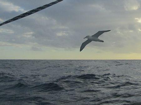 Salvin's Albatross in Tasman Sea