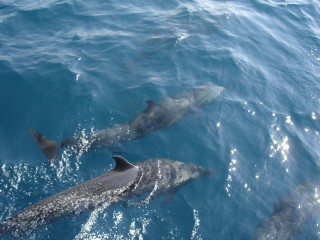 Dolphind ahead of 'Nereida'