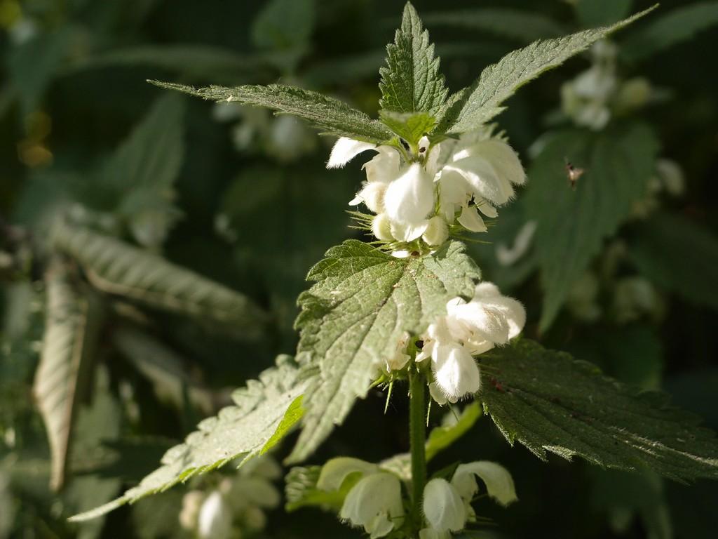 Цветок крапивы недовольный