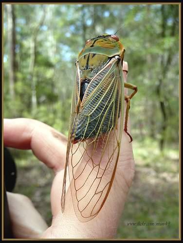 Cicadidae_4