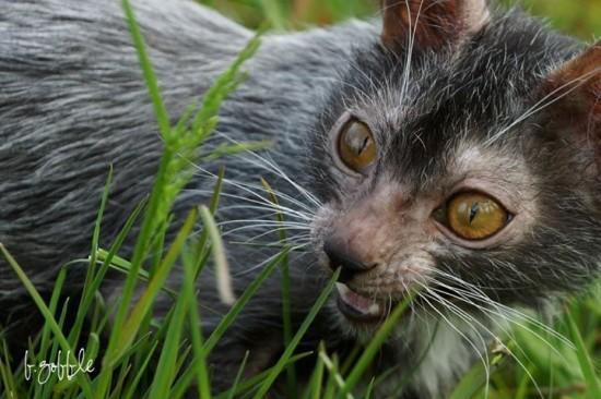Lykoi-cats3-550x366