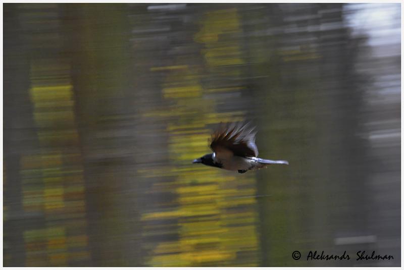 corvus-fly