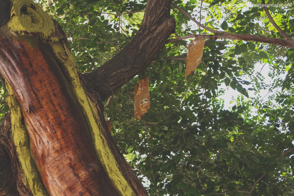 23. Старое дерево под капельницей с удобрениями. Интересно, что обработанная чем-то сердцевина — это пень, а вся жизнь во внешней части.