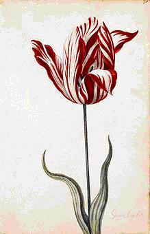 Тюльпаномания: 2 гектара земель за не проросший цветок, кто больше?