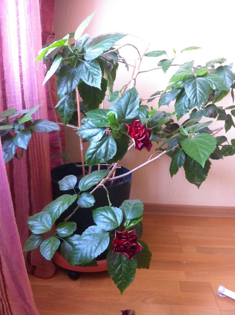 китайские розы фото