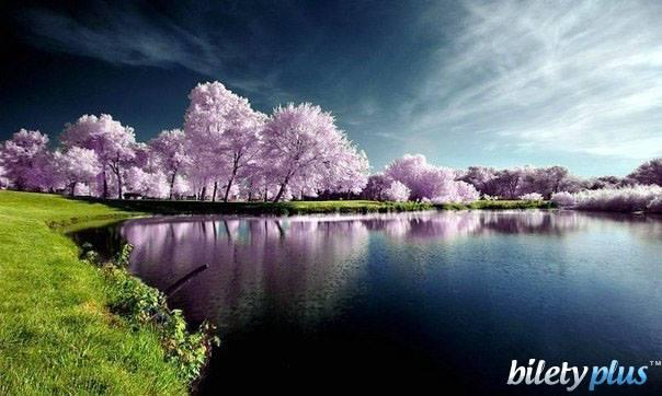 8 a Лес цветущей сакуры, Япония.