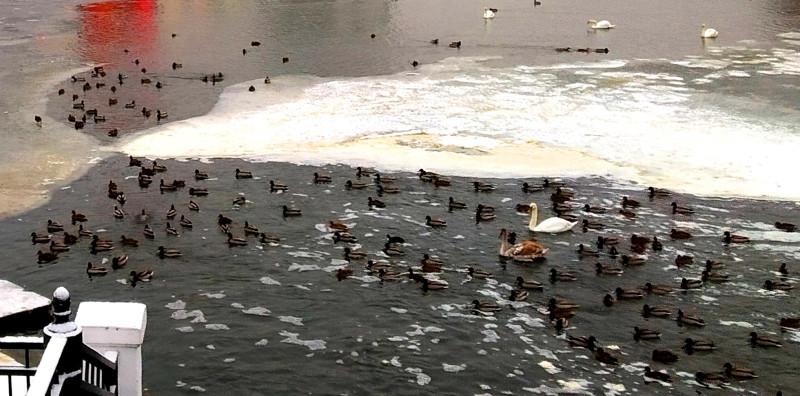 У дамбы оно никогда не замерзает — это и есть одно из зимних местообитаний уток, а иногда к ним пристраиваются и лебеди. Здесь кормят. Вот только можно ли?