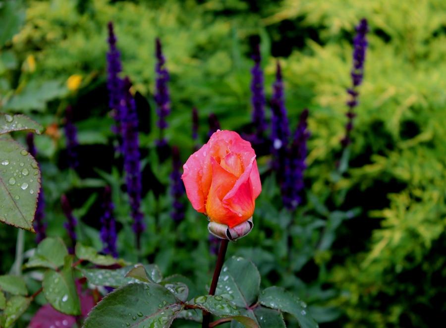 Роза хороша рядом с можжевельником сорта Голден-стар и с шалфеем дубравным!
