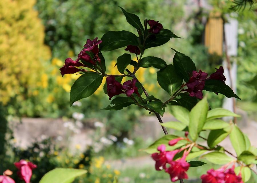 Кустарник Вейгела — держит цветки около месяца.