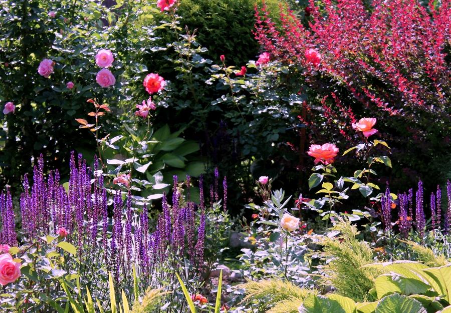 Розы, шалфей дубравный и барбарис краснолистный.