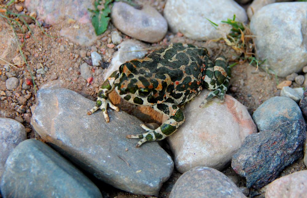 Как трогательно-миролюбиво расставила жаба свои трехпалые передние лапы.