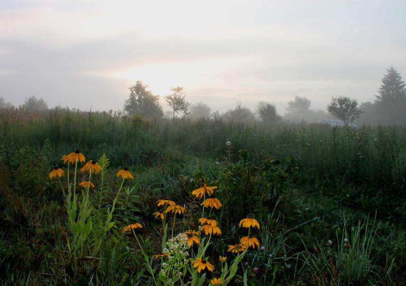 Такие заросли можно встретить на дополнительно выданных дачникам огородах. На переднем плане цветы рудбекии. Туман, похоже, конец августа. Немного грустно...