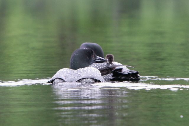 Loon Photos from camper Paul Joyce